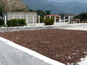Sun dried coffee beans